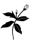 白黒バラの蕾